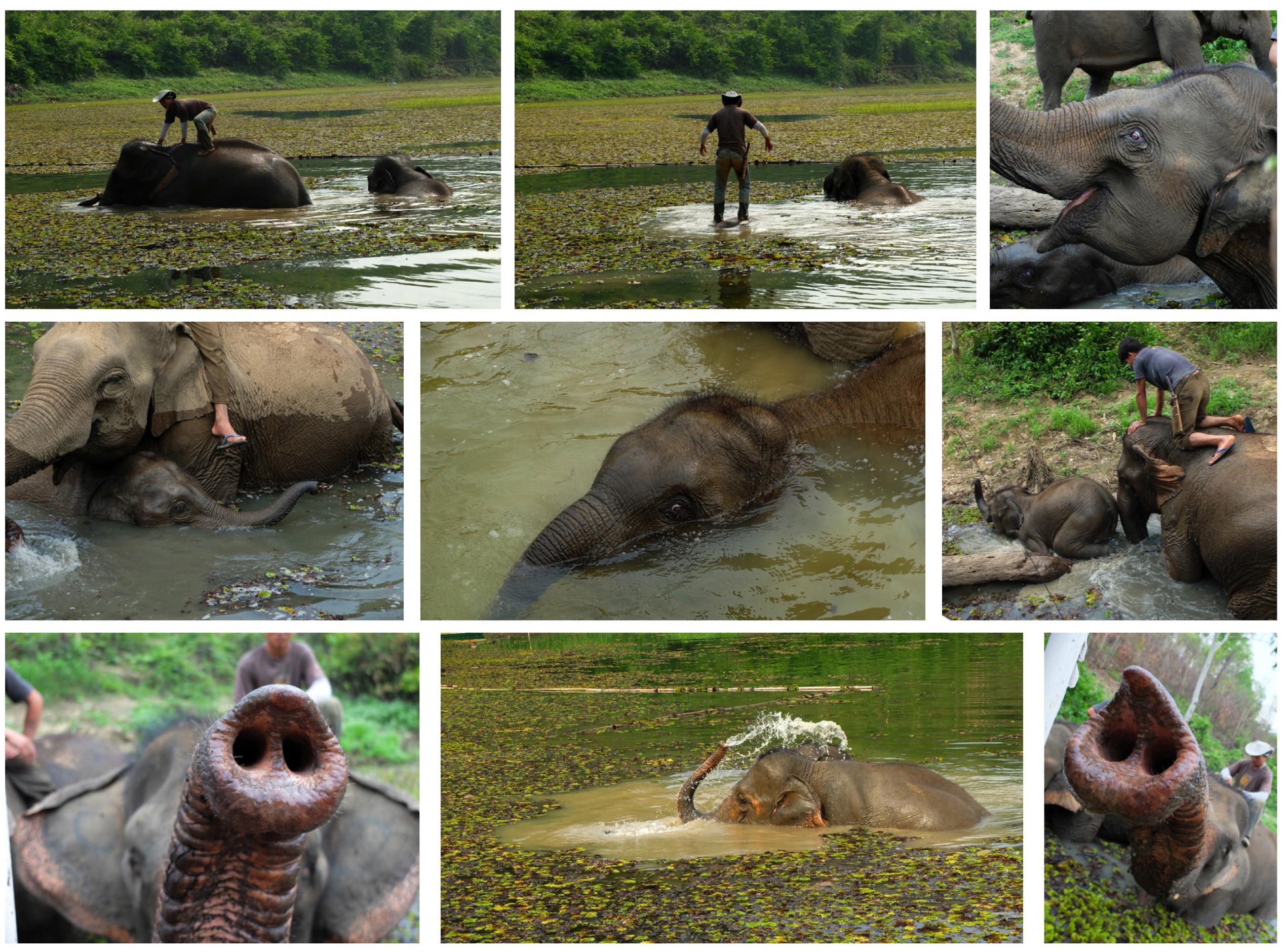 Un éléphant ça baigne énormement
